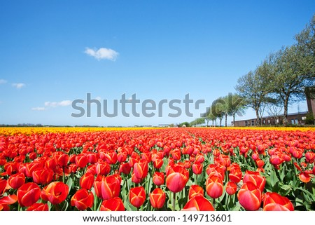 A large field with blooming red tulips and blue sky in the Netherlands.