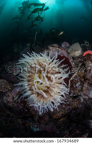 A large Fish-eating anemone (Urticina piscivora) grows on the rocky bottom of a kelp forest in Monterey Bay, California. This beautiful species is found from Alaska to Southern California.