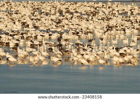 A large flock of snow geese take refuge in the middle of a frozen lake. - stock photo