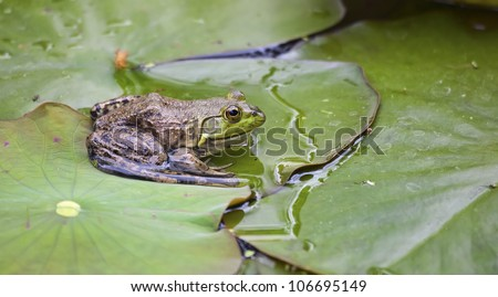 A large frog poses on a green lilypad - stock photo