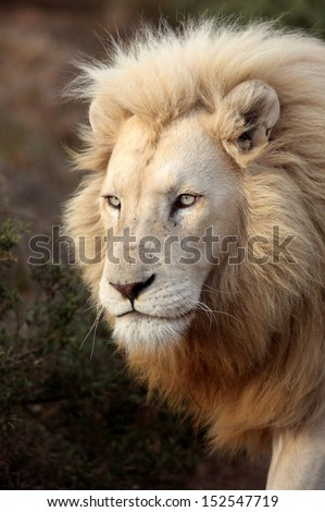 A large full grown white male lion in this close up portrait taken in Africa.