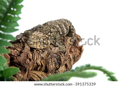 A large gecko with dew on his body is clinging to a log, isolated against a white background.