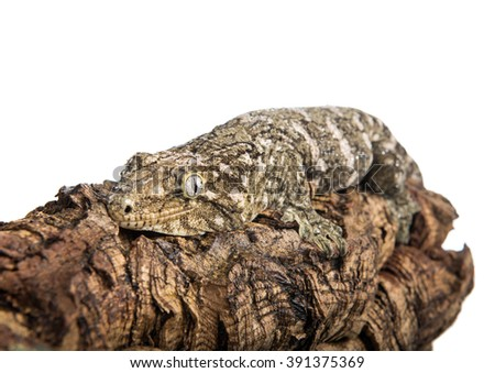 A large gecko with dew on his body is clinging to a log, isolated against a white background. - stock photo