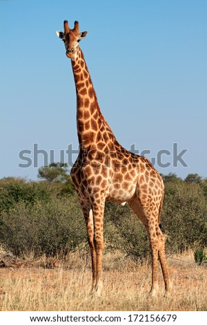 A large giraffe bull (Giraffa camelopardalis), South Africa - stock photo