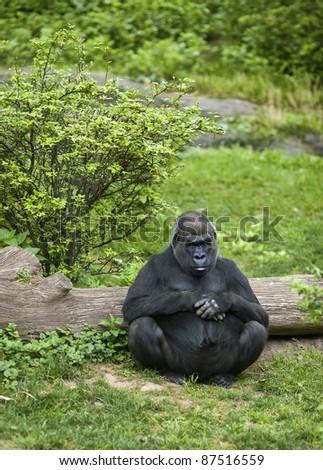 A large gorilla sitting alone. - stock photo
