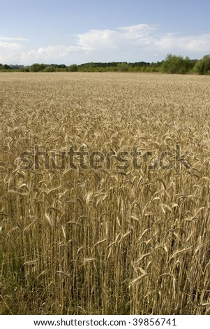 A large grainfield, taken on a summerday.