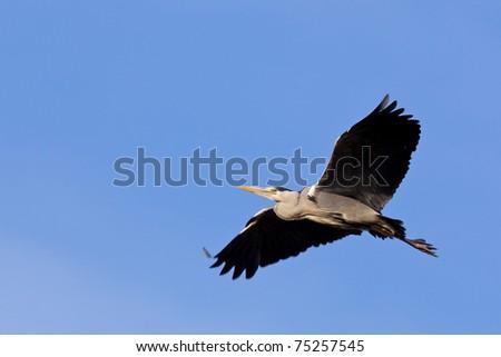 A large grey heron flying - stock photo