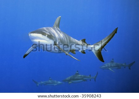 a large grey reef shark showing the mouth and teeth. There are three blacktip reef sharks in the background - stock photo