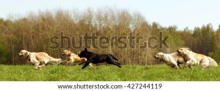 A large group of dogs retrievers running in the summer through the green valley - stock photo