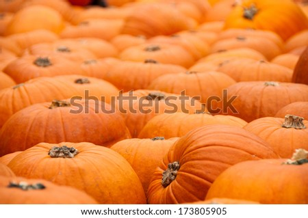 A large group of pumpkins  - stock photo