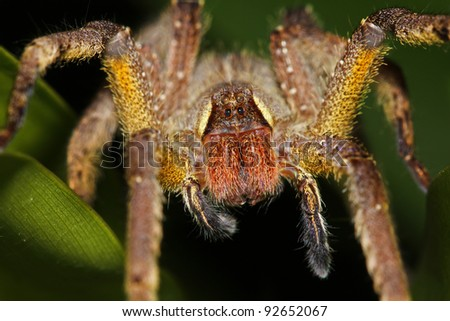 A LARGE, HAIRY, YELLOW spider in the Peruvian Amazon - stock photo
