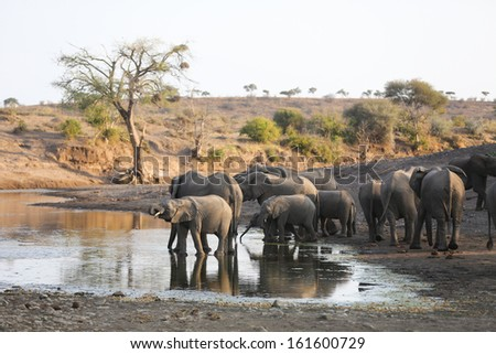 A large herd of African elephants drinking at a natural pool in a dry riverbed - stock photo