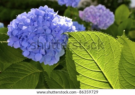 A large hydrangea bloom and leaf in summer. - stock photo