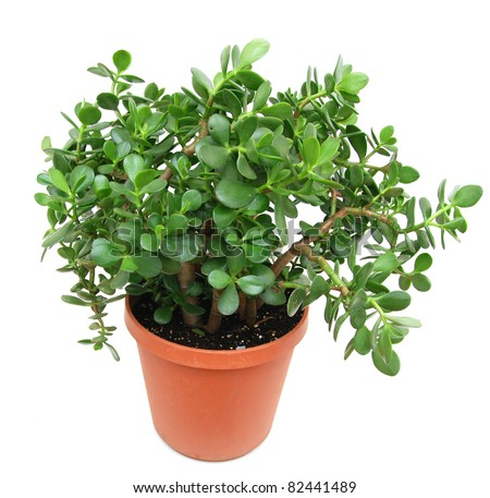 A large jade houseplant tree in 4 year - stock photo