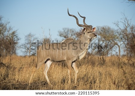 A large Kudu Bull walks in the Savannah - stock photo