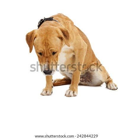 A large Labrador crossbreed dog looking down. Place your pet product on the floor in front of her. - stock photo