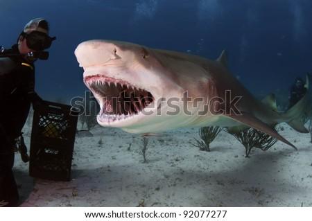 A large lemon shark bares his teeth - stock photo