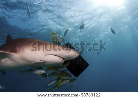 A large lemon shark circling around a bait box in the Bahamas