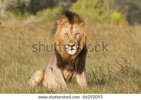 A large lion male lazily raises himself out of a grassland. - stock photo