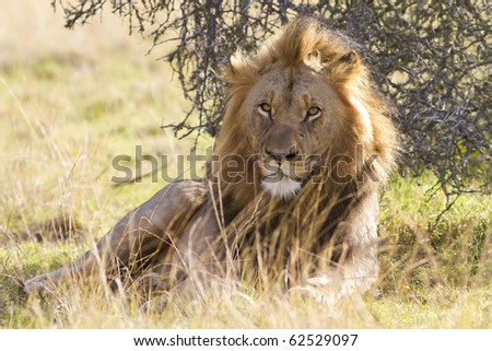 A large lion male relaxes in the shade under a shrub. Photo taken in Eastern Cape nature reserve, Republic of South Africa. - stock photo