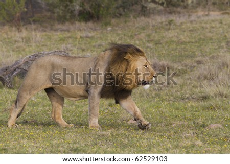 A large lion running across the grassland plains. Photo taken in Eastern Cape nature reserve, Republic of South Africa. - stock photo