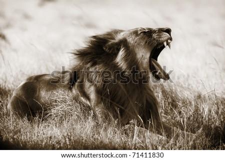 A large lion yawns. Toned image. - stock photo