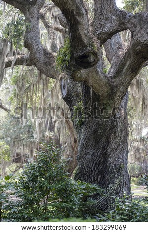 A large Live Oak is covered with Spanish moss in a park