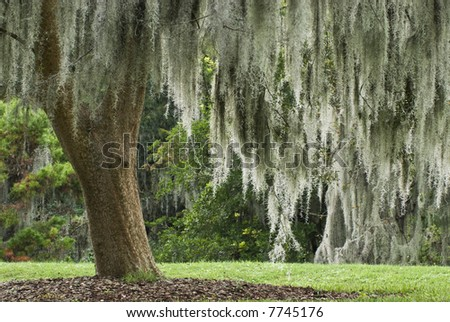 A large Live Oak is covered with Spanish moss in a park in Florida. - stock photo