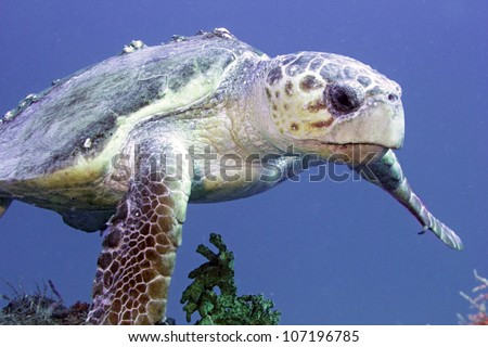 A large loggerhead seaturtle swimming along on the wreck of the USCGC Spiegal Grove in the Florida Keys. - stock photo