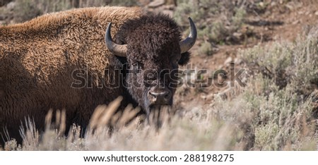 A large male bison looks over a hill at photographer - stock photo
