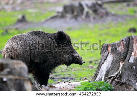 A large male boar with tusks in the meadow