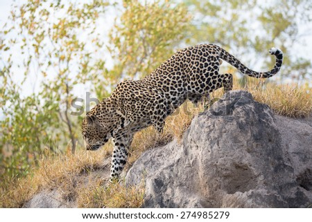 A large male leopard on the prowl, walking over rocks - stock photo