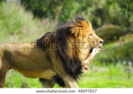 A large male lion carrying a bone - stock photo