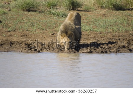 A large male lion drinks water from a small dam in Pilansberg nature reserve in South Africa.