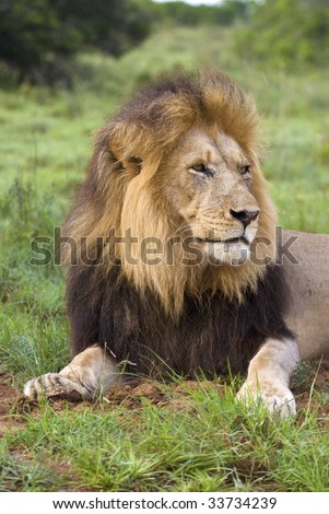 A Large Male Lion looks across the African Plains - stock photo