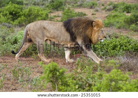 A large Male Lion walks the boundary of his territory - stock photo