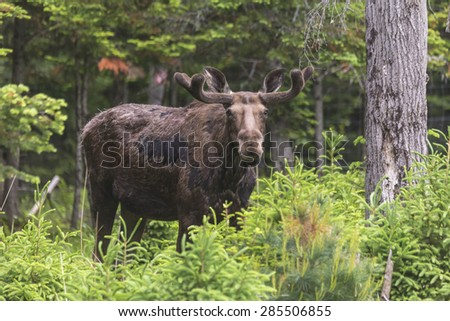 A large male moose in a forest