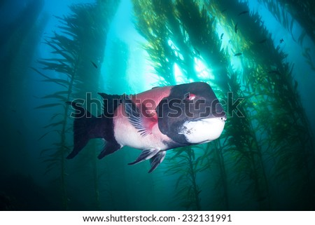 A large male sheephead swims through a beautiful underwater kelp forest in southern California??s Channel Islands - stock photo