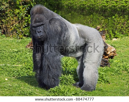 Gorilla standing up - photo#54