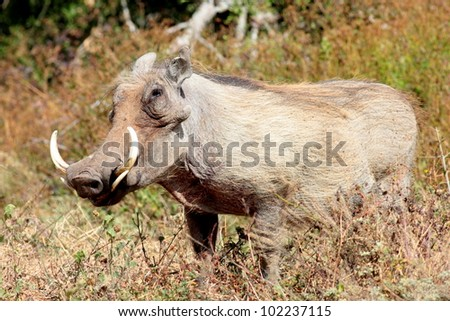A large male warthog with big tusks in South Africa - stock photo