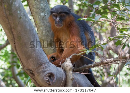 A large male Western Red Colobus Monkey (Piliocolobus badius) in a tree