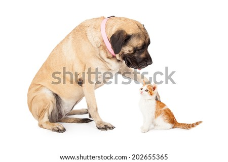 A large Mastiff dog extending her paw out to to play with a little kitten and looking down at it.  - stock photo