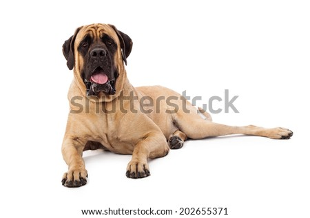 A large Mastiff dog laying against a white backdrop with an alert and attentive expression - stock photo