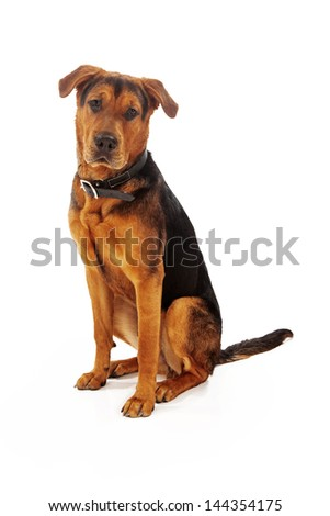 A large mixed breed adult dog sitting against a white backdrop looking at the camera - stock photo