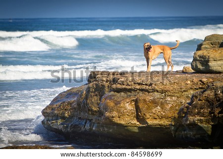 A large mixed breed dog standing on a large rock on the shore of a beach - stock photo