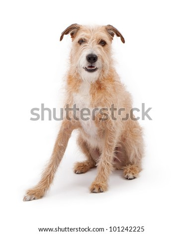 A large mixed breed wire hair dog against a white backdrop - stock photo