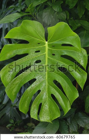 A large monstera deliciosa leaf in front of smaller leaves in a garden. - stock photo