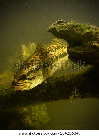 a large mouth bass fish underwater - stock photo
