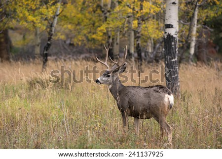 A large mule deer buck standing in a meadow with aspen trees in the background in Rocky Mountain National Park near Estes Park, Colorado