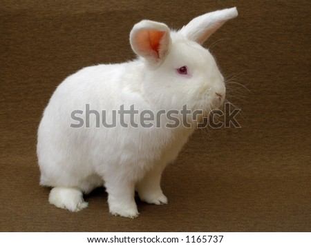 A large New Zealand White rabbit (albino) on a plain brown background.